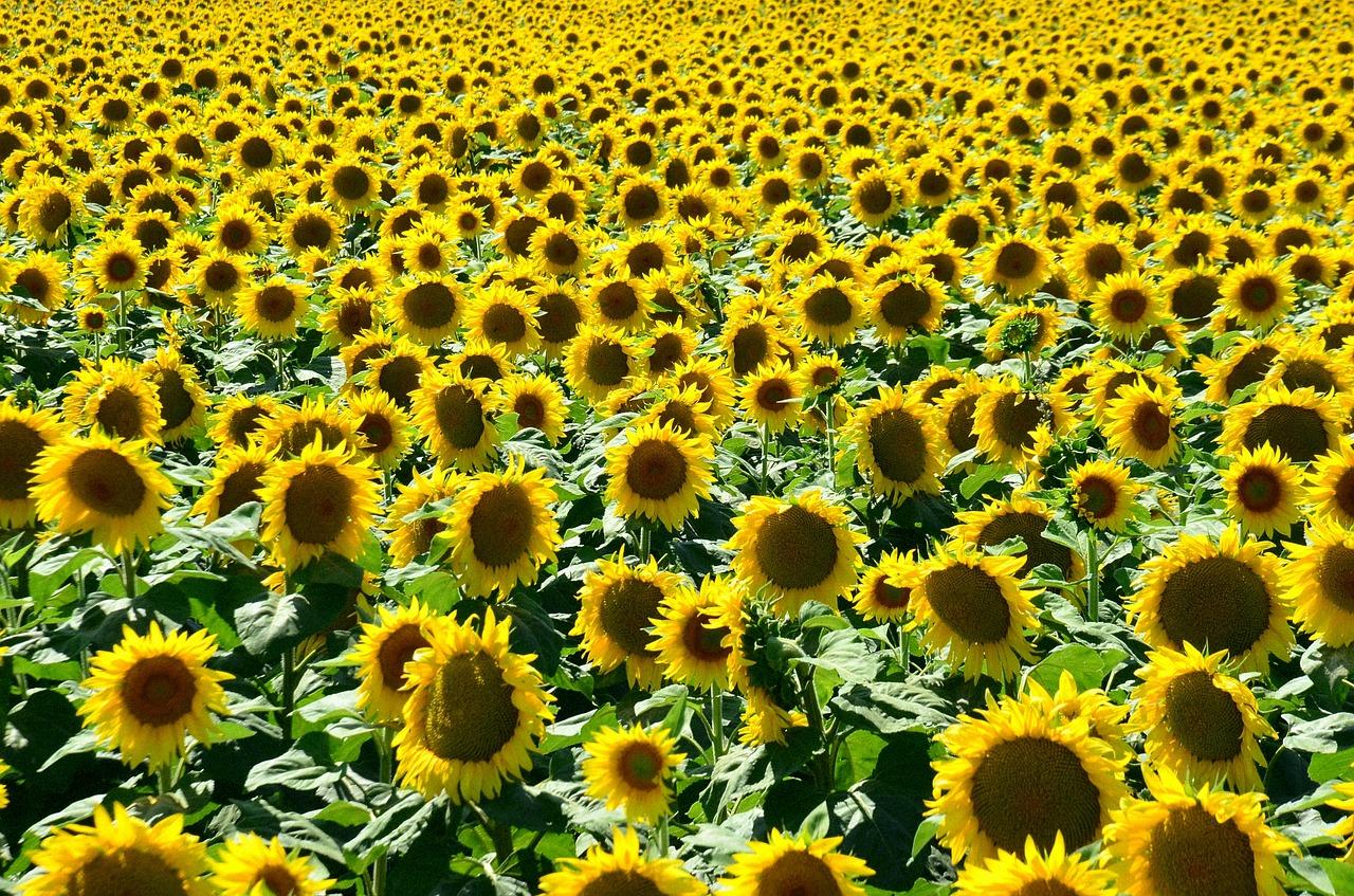 pole se slunečnicemi